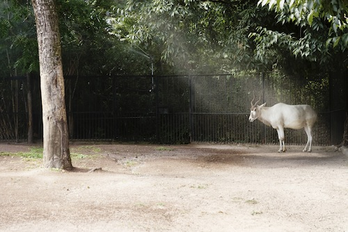 valeria scrilatti, addax, from almost wild