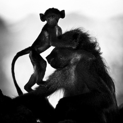 laurent baheux, baby baboon and its mother, botswana